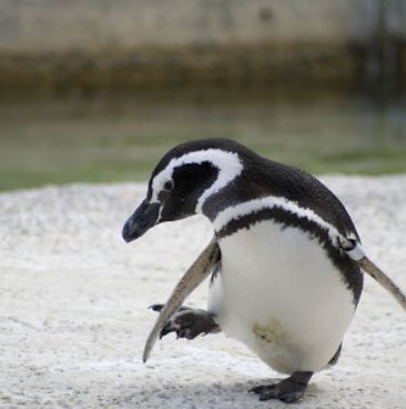 Penguin画像1.jpg